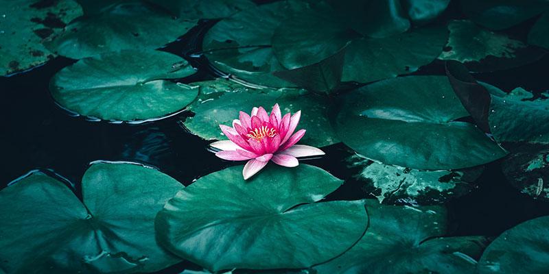 floarea de lotus ce semnifica